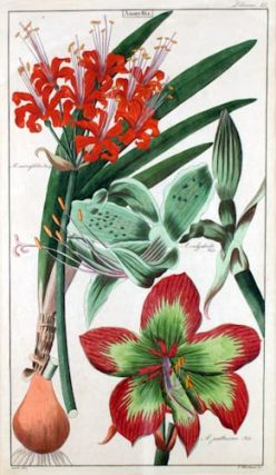 Two botanical prints of Amaryllis.